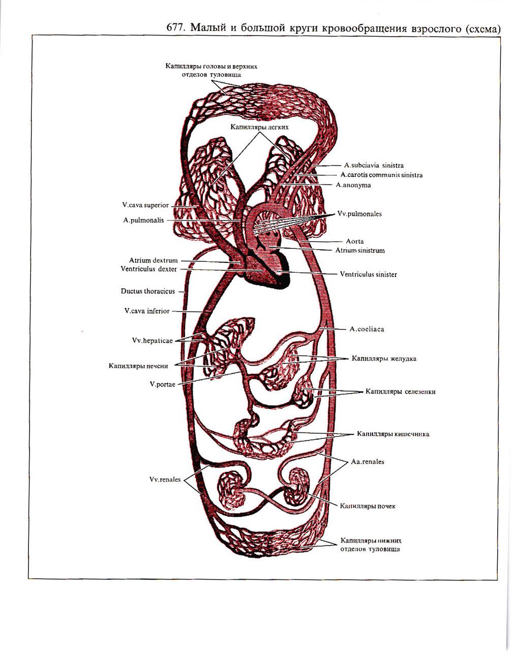 Схема кругов кровообращения человека картинки Анатомия: Малый круг кровообращения